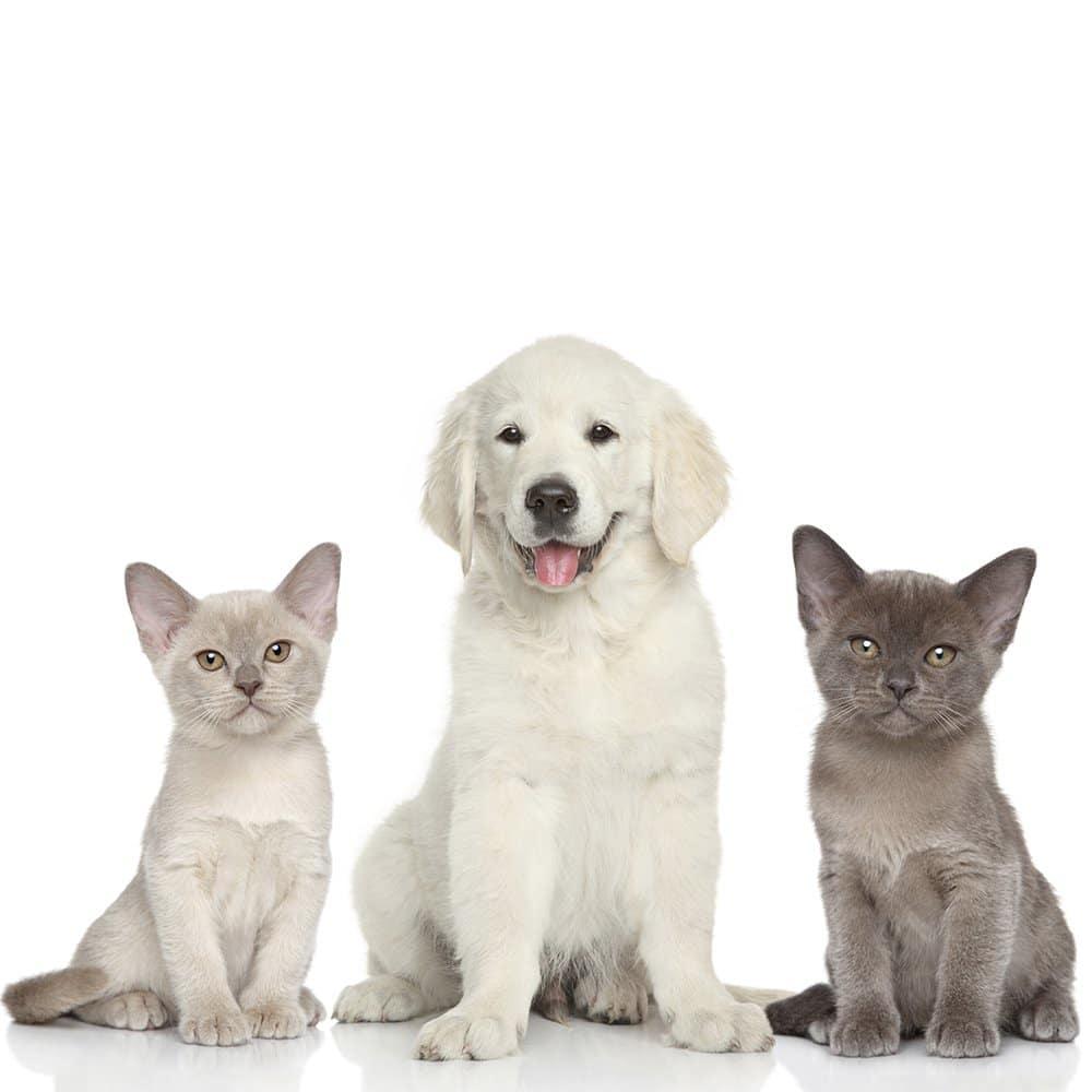 Choisir son animal domestique chien ou chat chabadog - Chat ou chien ...