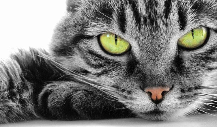telepathie animaux chat